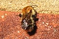Bumblebee out late (BG) (10644808393).jpg