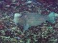 Bumphead parrotfish (Bolbometopon muricatum) (42854212385).jpg
