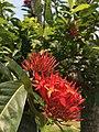 Bunga Asoka Saraca asoca.jpg