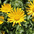Buphthalmum salicifolium-IMG 3584.jpg