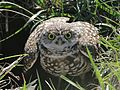 Burrowing Owl2 .flk (4).jpg