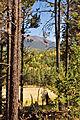 Bursts of Yellow Aspen amid Ponderosa Pine (3972274092).jpg
