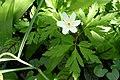 Buschwindröschen (Anemone nemorosa) im Garten.jpg