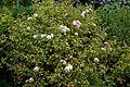 Bush rose at Goodnestone Park Kent England.jpg