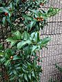 C2-2-Ilex opaca (American Holly).JPG