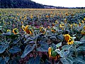 CAMPS DE GIRA-SOLS^ (CARRIL BICI GIRONA-ST FELIU) - panoramio.jpg