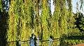 CBG Lakeside Gdns - Salix alba 'Tristis' Golden Weeping Willow seen from Arch Bridge 150623 (19708222543).jpg