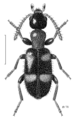 COLE Anthicidae Anthicus hesperi.png