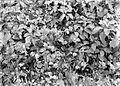 COLLECTIE TROPENMUSEUM Verwilderde Cobaea scandens in de tuin van Tjibodas TMnr 10006375.jpg