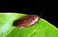 CSIRO ScienceImage 189 Calolampra Cockroach Family Blattodea.jpg