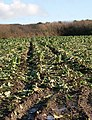 Cabbage Field - Recently Harvested - geograph.org.uk - 105445.jpg