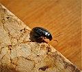 Cabbage stem bug. Psylliodes chrysocephala Chrysomelidae (49133032427).jpg