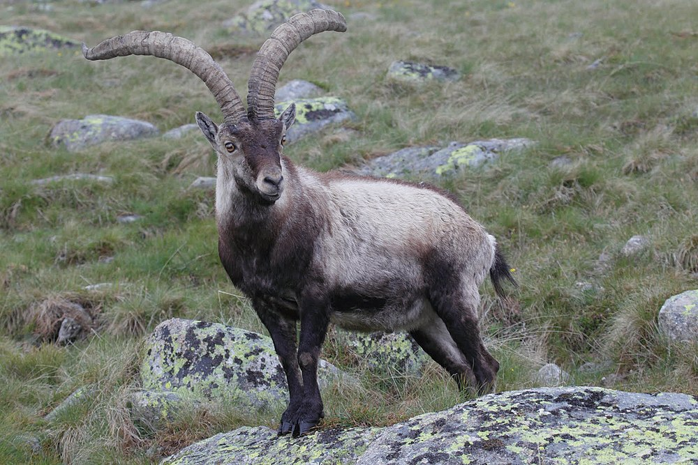 A Iberian ibex gets as old as 16 years