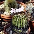 Cactus at Quex House Birchington Kent England.jpg