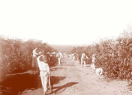 Italian immigrants working on Brazilian coffee plantation, early 20th century - Plantation