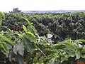 Cafezais de Cajuru - panoramio.jpg