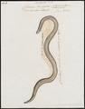 Calamaria brachyorrhos - 1700-1880 - Print - Iconographia Zoologica - Special Collections University of Amsterdam - UBA01 IZ12000233.tif