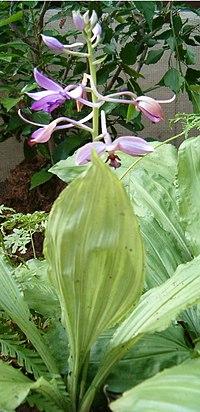 Calanthe sylvatica Calanthe masuka OrchidsBln0906c