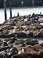 California Sea Lions IMG 4566.JPG
