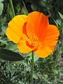 California poppy1.jpg