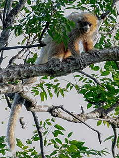 Callicebus pallescens - White-coated titi; Corumbá, Mato Grosso do Sul, Brazil.jpg