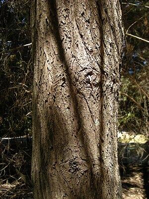 Callitris columellaris