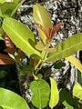 Calophyllum inophyllum—reddish juvenile leaves.jpg