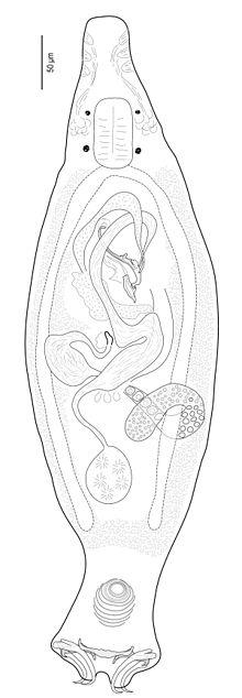 Echinoplectanum
