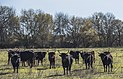 Camargue cattle, Saint-Gilles 07.jpg