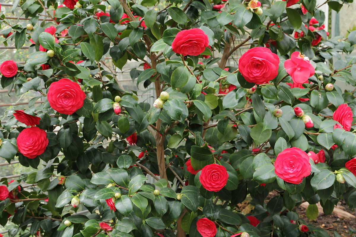 Camellia japonica wikipedia dhlflorist Images