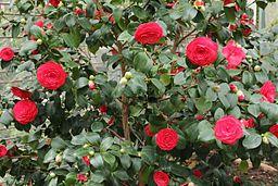 Camellia japonica-IMG 2051