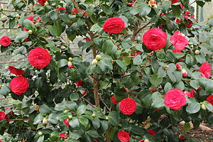 Camellia japonica - Image: Camellia japonica IMG 2051