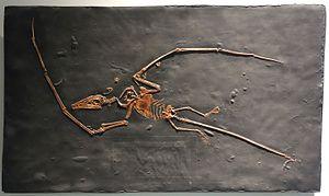 Campylognathoides - Cast of the Pittsburgh specimen of C. liasicus