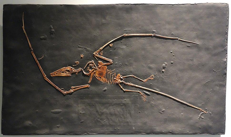 Campylognathoides liasicus cast - University of California Museum of Paleontology - Berkeley, CA - DSC04685