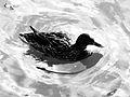 Canard flottant sur l'eau, au soleil.JPG