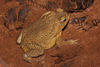 Cane toad - Adult male