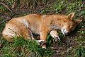 Canis lupus dingo sleeping.jpg