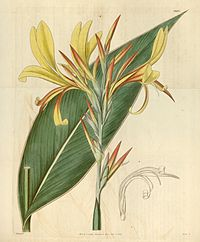 Canna glauca (C. glauca var. rubrolutea) Bot. Mag. 62. 3437. 1836