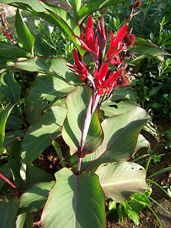 Canna indica (wild species) flowers.JPG