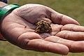 Cannabis sativa bud (01).jpg
