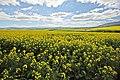 Canola Feild - Overberg, South Africa (3919338234).jpg