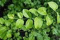 Canthium coromandelicum1413.jpg