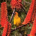 Cape weaver male among Aloe flowers (38152920232).jpg