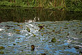 Capel Manor lake at the southeast, Enfield London England.jpg