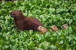Capibara y sus crías