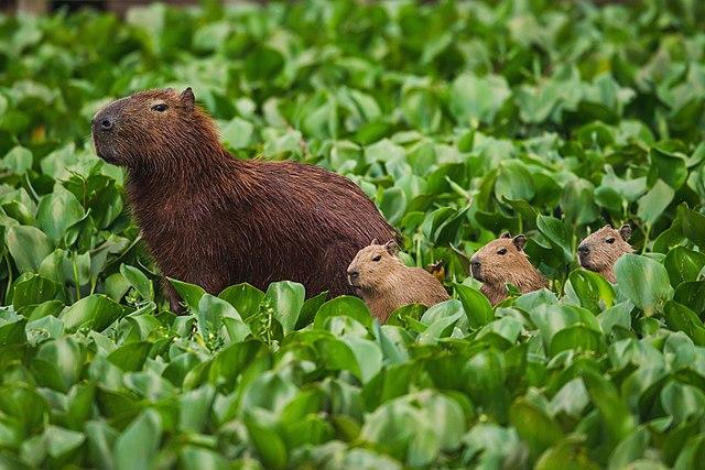 Capibaras en el área protegida del río Tieter, Sao Paulo, Brasil