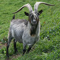 List of Swiss goat breeds - Wikipedia