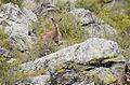 Capra ibex in Sayano-Shushensky reservate.jpg