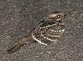 Caprimulgus fossii subsp mossambicus, Pretoriuskop, Birding Weto, a.jpg