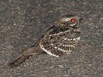 Square-tailed nightjar - Image: Caprimulgus fossii subsp mossambicus, Pretoriuskop, Birding Weto, a